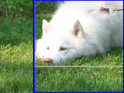 Display Results 148 N02109961 Eskimo Dog Husky