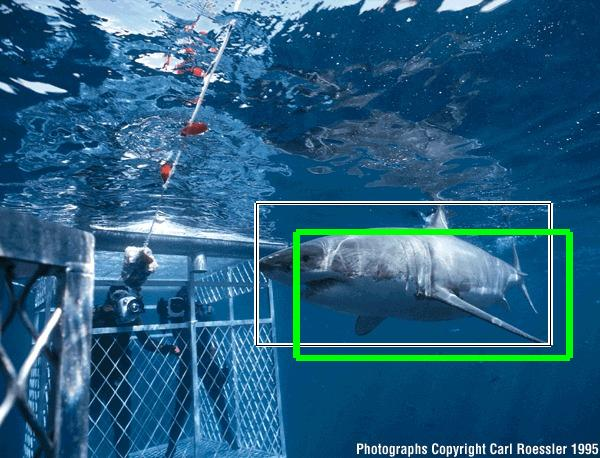 White Sharks Eating People